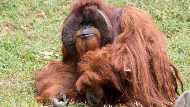 Muere orangután que aprendió a hablar lenguaje de señas