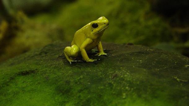 Descubren una rana que brilla en la oscuridad, el primer anfibio fluorescente