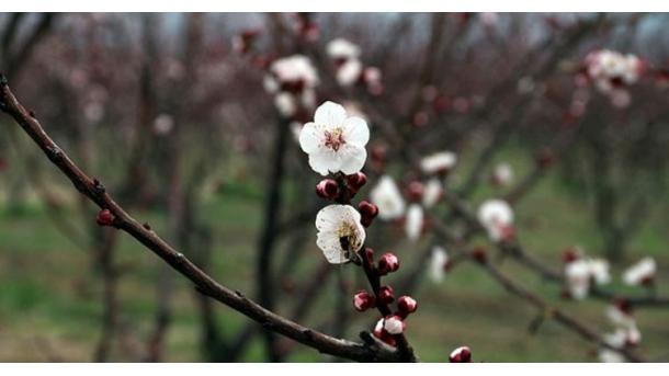 「ニセ桜」にご用心 トルコで被害に遭わないために | TRT  日本語