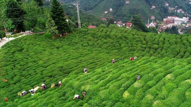 Të ardhurat nga eksporti i çajit u rritën me 51% në tremujorin e parë 2020 | TRT  Shqip