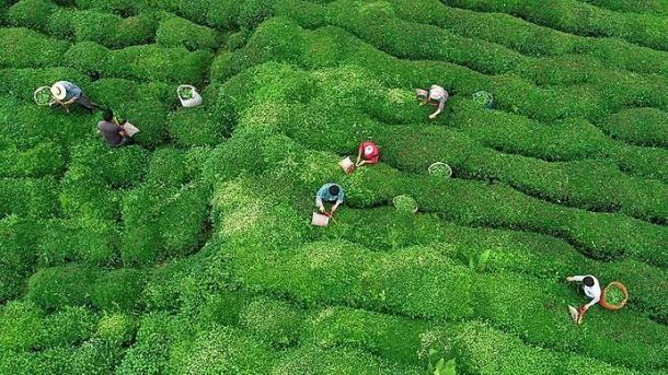 Turqia rrit eksportin e çajit gjatë janarit | TRT  Shqip