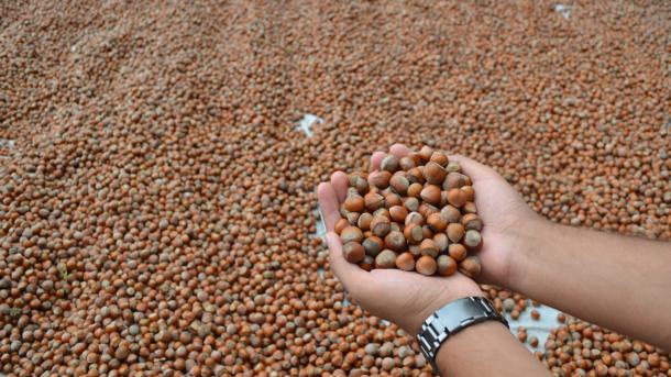 Turquie : 245 mille tonnes de noisettes exportées