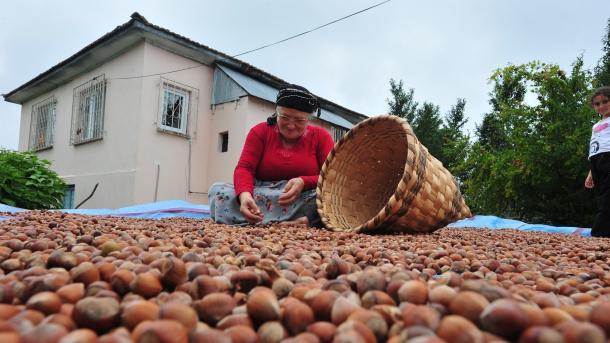 Turqi – 1,38 miliardë dollarë të ardhura nga eksporti i lajthisë | TRT  Shqip