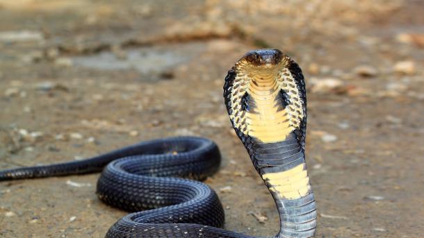 Policija u Indoneziji priznala da je koristila zmije tokom ispitivanja uhapšenih